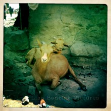 Village Goats, Simien Mountains