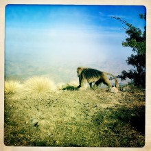 Baboon, Simien Mountains