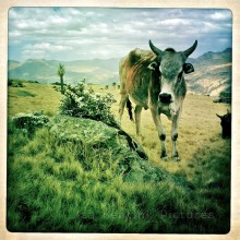 Cow, Simien Mountains