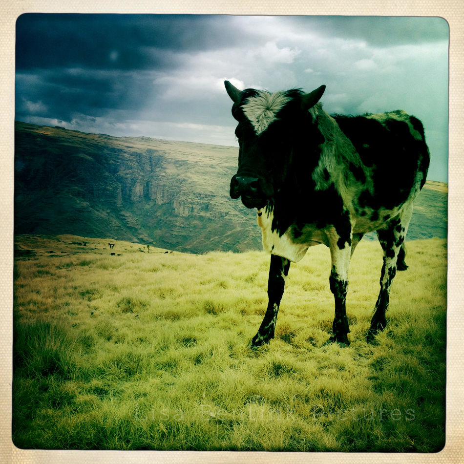 Cow Simien Mountains, Ethiopia