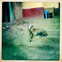 Village Goat, Axum