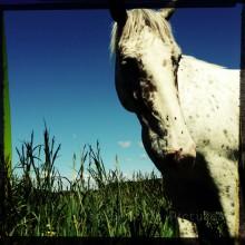 Appaloosa Stallion Horse