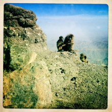 Galeda Baboon, Simien Mountains, Ethiopia